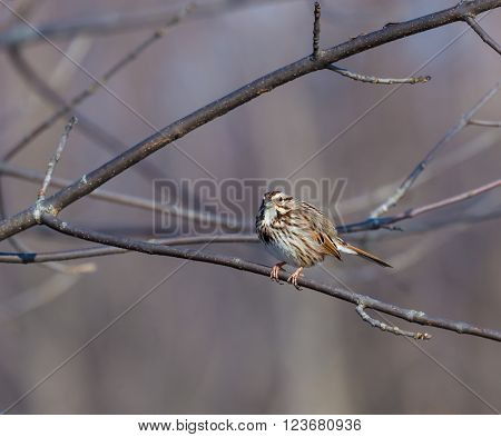 The song sparrow is a medium-sized American sparrow. Among the native sparrows in North America, it is easily one of the most abundant, variable and adaptable species.