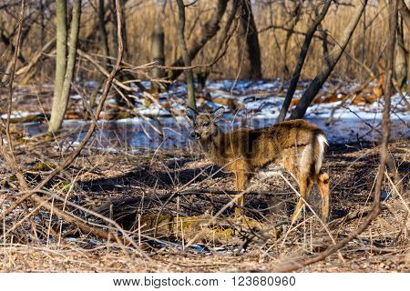 White-tailed deer watching alertly deep in a forest in winter.