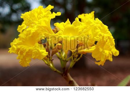 Tabebuia chrysotricha yellow flowers blossom in thailand ** Note: Shallow depth of field