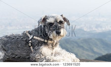 Sweet Schnauzer dog with funny ears smiles with nice background color