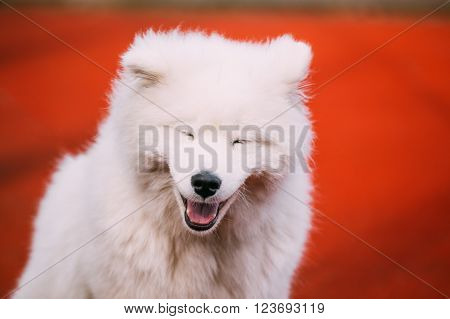 Close Up Of Happy Smiling Young White Samoyed Dog.