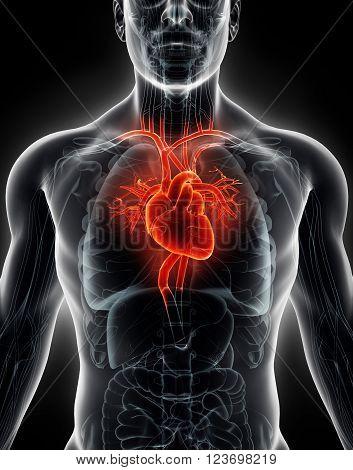 3D Illustration Human Internal Organic - Human Heart.