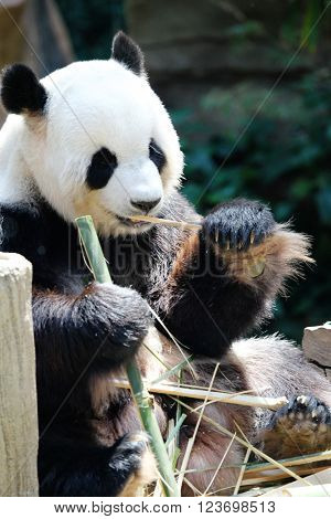 Giant panda bear eating dry bamboo close-up