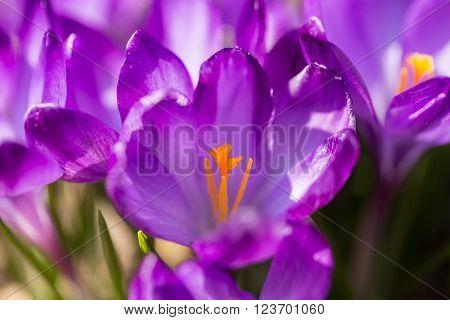 First Spring Flowers In Garden Crocus