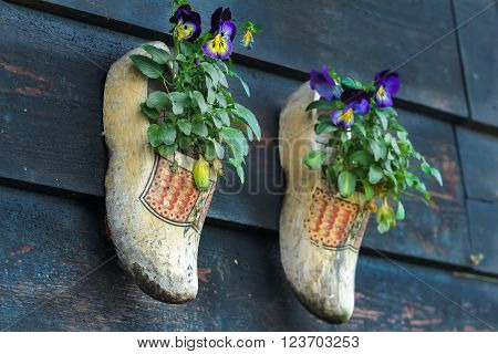 Traditional Dutch wooden clogs klompen using as garden pot for flowering pansy plants