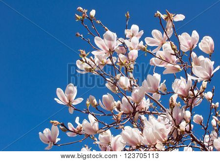 Spring Branch of a Blossoming Magnolia Tree with Pink and White Flowers and Buds on a Background of Blue Sky