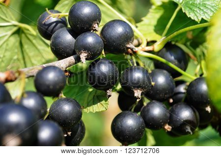 close-up of a black currant in the garden