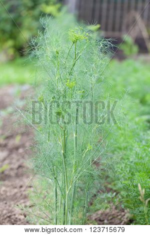 Dill growing in rows in the garden bed