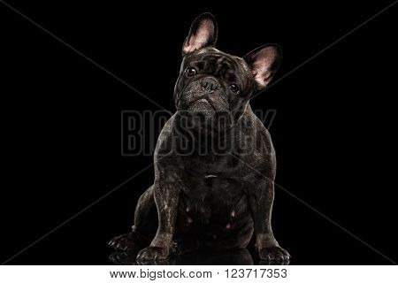 Portrait of French Bulldog Dog Sitting and Curiously Looking in Camera Front view Isolated on black background