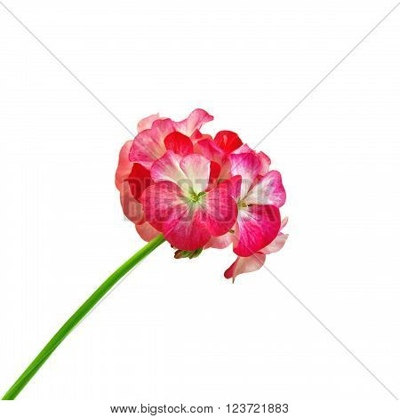 Inflorescence red and white geranium isolated on white background