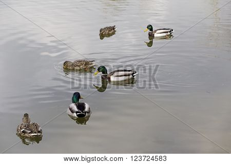 Wild ducks and drakes pairs of swimming in the lake.