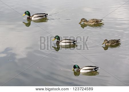Wild Ducks Swimming In The Lake.