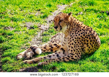 Amur Leopard On Meadow