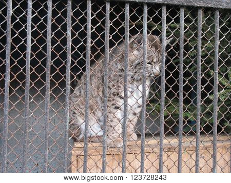A small lynx sits in a cage in a zoo.