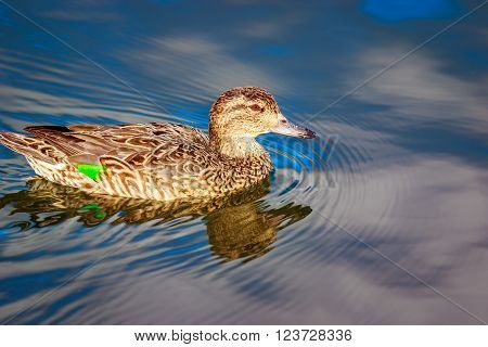 A female mallard duck swims in the lake.