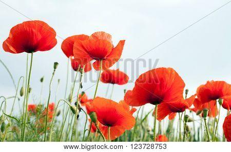 Red poppy  on white background