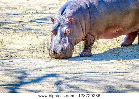 Hippo Walks On Ground