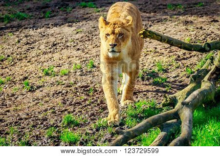 Lioness On Meadow