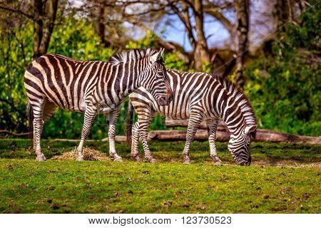 Plains Zebra Feeding