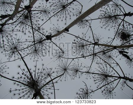 View up at the dried wild hogweed inflorescence