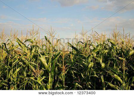 closeup of a young corn plant