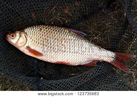 Close Up View Of The Roach Fish Just Taken From The Water.