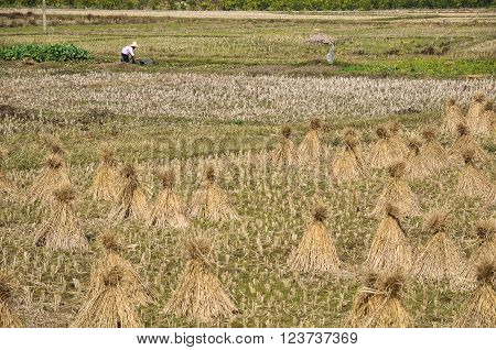 Countrywoman working in the field on background of straw sheaves.