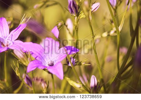 inflorescences of the hand bell blossoming fragrant violet unusual