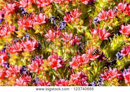 Specimens of Endemic Red Tenerife Bugloss in Teide National Park Canary Islands Spain