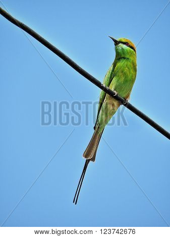 Green bee eater is perched on electricity wire with vibrant blue sky in the background