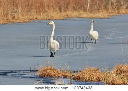 Whooper swan (Cygnus Cygnus) couple walking on the ice of a frozen lake in the spring in Finland.