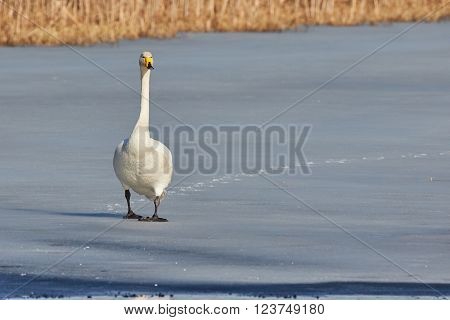 Whooper swan (Cygnus Cygnus) walking on the ice of a frozen lake in the spring in Finland.
