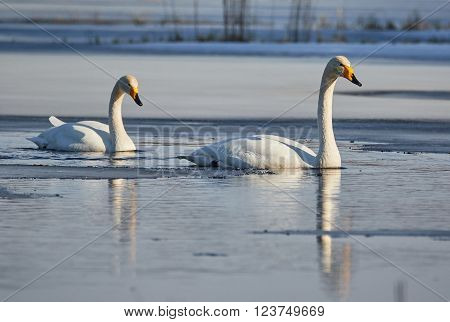 Whooper swan (Cygnus Cygnus) couple swimming in icy lake in the spring in Finland.