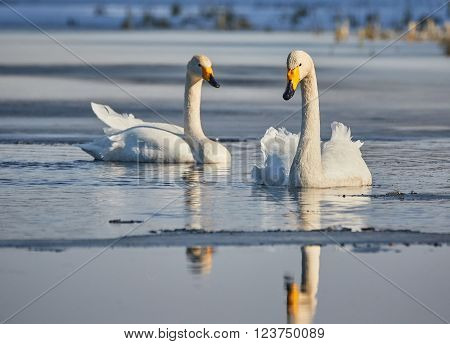 two whopper swans swimming in icy water