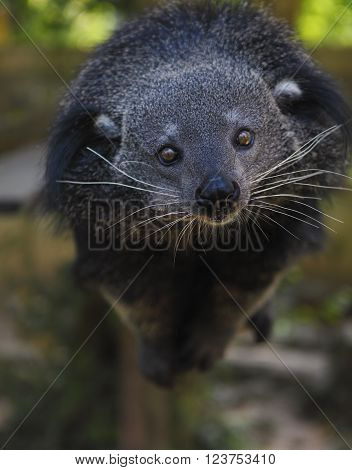 Binturong or bearcat (Arctictis binturong). The binturong is widespread in south and southeast Asia occurring in Bangladesh Bhutan Myanmar China india and indonesia ** Note: Soft Focus at 100%, best at smaller sizes