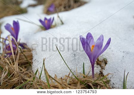 Violet crocus at the snow edge. Close-up. Other crocuses and snow in background.