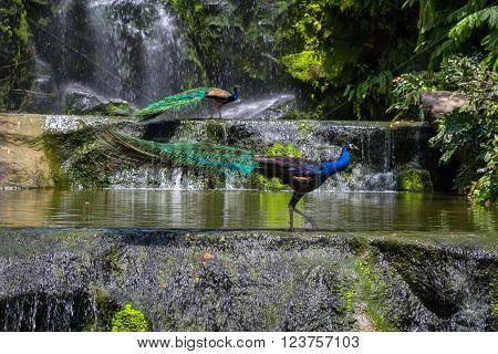 Indian blue peafowl in Kuala Lumpur, KL Bird Park, Malaysia