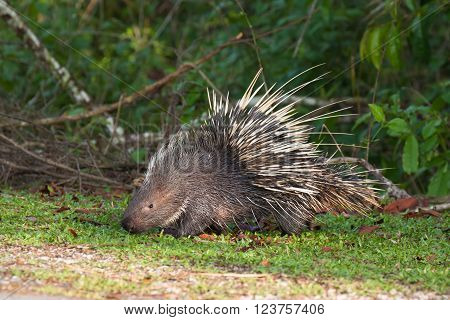 The porcupine seek a food on the grass ** Note: Visible grain at 100%, best at smaller sizes