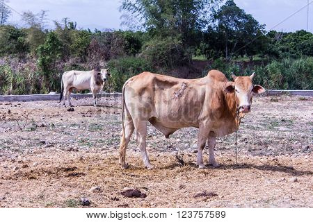 Thai cow in field, mammal farm , mammal