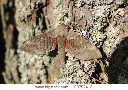 The poplar hawk-moth in a tree. This hawk-moth was sunbathing on a tree bark.