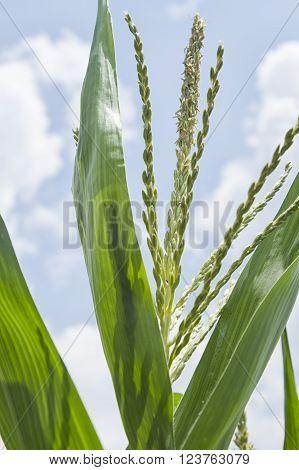 Inflorescence at corn plantation ,corn flower in farm
