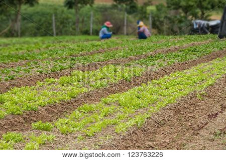 Rows of fresh organic vegetables growing at the farm Cultivated field of vegetable growing in rows