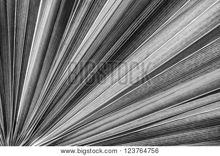Closeup on tropical palm tree leaf texture in black and white