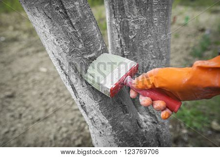 Care tree after winter. Hand in rubber glove with lime colors tree from harmful insects.