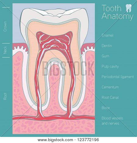 tooth medical anatomy with words vector illustration