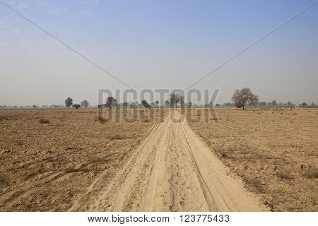 tracks in the sandy soil of abohar in rajasthan with trees and distant mustard fields under a blue sky in springtime