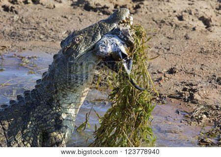 Big crocodile eats the head of a springbok with horns