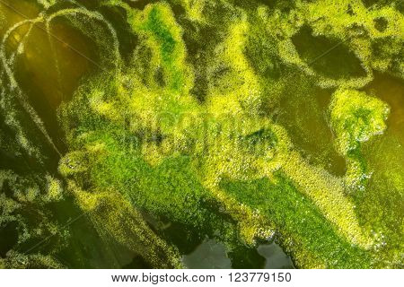 Abstract green pattern of the water surface of a pond with algae and air bubbles in close-up