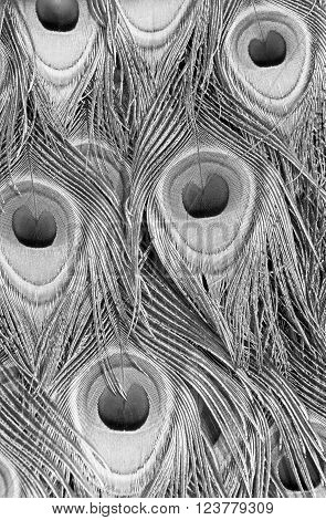 Close up image of Male Peacock Feathers in Black and White