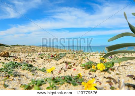 flowers by Fiume Santo shoreline in Sardinia ** Note: Shallow depth of field